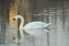 Noble White Swan Stock Photography
