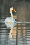 Noble White Swan Royalty Free Stock Photography