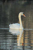 Noble White Swan Royalty Free Stock Image
