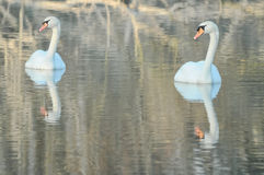 Noble White Swan Royalty Free Stock Photo