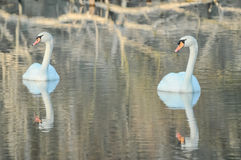 Noble White Swan. In the Water Surface Stock Photo