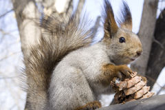 Nobody take away my cone!. (squirrel with cone of siberian pine Stock Photo