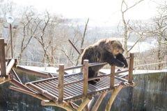 Noboribetsu, Japonia, Styczeń 27, 2018: Hokkaida brown niedźwiedź att Obraz Stock
