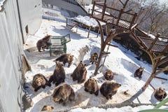 Noboribetsu, Japonia, Styczeń 27, 2018: Hokkaida brown niedźwiedź att Obrazy Royalty Free