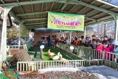 Noboribetsu, Japonia, Styczeń 27, 2018: Kaczki rasa jest jeden turystą Fotografia Stock