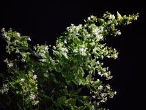 Noc jaśminu kwiatów należnie natura fotografia stock