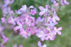 Noc kwiatów fiołkowej wiosny delikatny tło Obraz Royalty Free