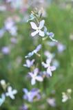 Noc kwiatów fiołkowej wiosny delikatny tło Zdjęcie Royalty Free