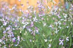 Noc kwiatów fiołkowej wiosny delikatny tło Zdjęcie Stock