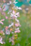 Noc kwiatów fiołkowej wiosny delikatny tło Fotografia Stock