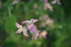 Noc kwiatów fiołkowej wiosny delikatny tło Obrazy Royalty Free