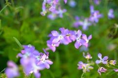Noc kwiatów fiołkowej wiosny delikatny tło Obraz Stock