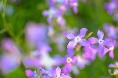 Noc kwiatów fiołkowej wiosny delikatny tło Fotografia Royalty Free