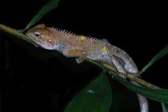 Noc makro- strzał jaszczurka na gałąź Zdjęcie Royalty Free