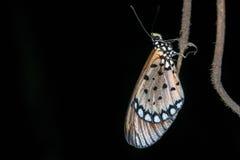 Noc makro- strzał motyl na gałąź Fotografia Royalty Free