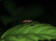 Noc makro- strzał pluskwa na liściu Fotografia Stock