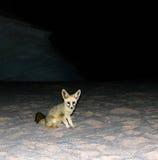 Noc portret fenka lis w biel pustyni, Farafra, Egipt Obrazy Stock