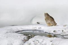 Noc ptak Przyrody scena, zima hokkaido, Japonia Blakiston ` s ryba sowa, dymienicy blakistoni, wielcy żywi gatunki sowa, rybi ow Zdjęcia Stock