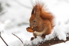 Nocciola mangiante vulgaris dello Sciurus euroasiatico dello scoiattolo rosso mentre sedendosi sul ramo coperto in neve nell'inve fotografie stock