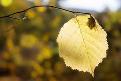 Nocciola variopinta del fondo di autunno su un ramo con una foglia gialla Immagini Stock Libere da Diritti