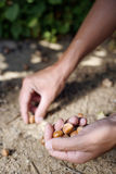 Nocciole di raccolto dell'uomo Fotografia Stock Libera da Diritti