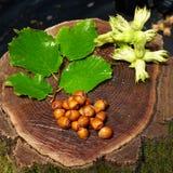 Nocciole fresche bagnate sul vecchio ceppo di legno Fotografia Stock