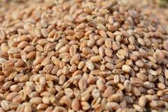 Noccioli appena raccolti del grano del grano Fotografia Stock