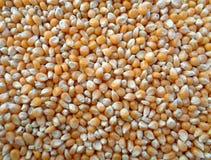 Noccioli di cereale secchi per popcorn, fondo fotografia stock libera da diritti