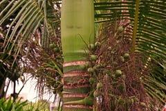 Noce di betel, varietà nana fotografia stock libera da diritti