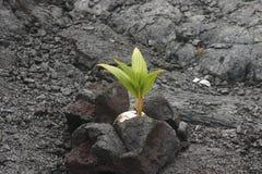 Noce di cocco 164 che cresce nella roccia della lava Immagine Stock Libera da Diritti