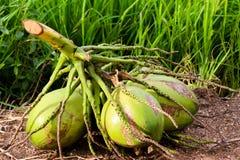 Noce di cocco Immagine Stock Libera da Diritti