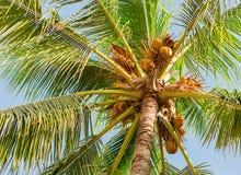 Noce di cocco alta della palma con i rami lunghi delle foglie Immagini Stock