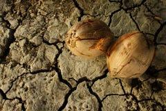 Noce di cocco asciutta Fotografia Stock