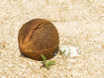 Noce di cocco, coperture della conca e germoglio verde sulla sabbia. Immagine Stock