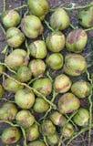 Noce di cocco del bambino Immagine Stock