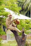 Noce di cocco della memoria della scimmia Fotografie Stock