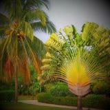 Noce di cocco della palma Fotografia Stock