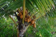 Noce di cocco della palma di paradiso delle Maldive Fotografia Stock Libera da Diritti