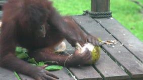 Noce di cocco della sbucciatura di pygmaeus del pongo dell'orangutan animale endemico pericoloso del Borneo stock footage