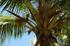 Noce di cocco di Palmtree Fotografie Stock Libere da Diritti