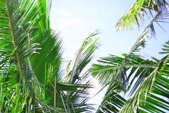 Noce di cocco e cielo Immagini Stock Libere da Diritti