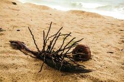 Noce di cocco germogliata sulla sabbia Fotografia Stock Libera da Diritti