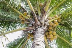 Noce di cocco gialla Immagini Stock Libere da Diritti