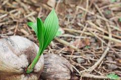Noce di cocco in noce di cocco immagine stock