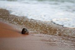 Noce di cocco matura sulla riva Fotografie Stock Libere da Diritti
