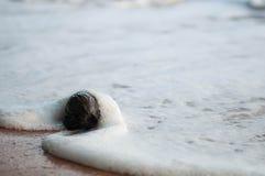 Noce di cocco matura sulla riva Fotografia Stock Libera da Diritti
