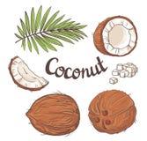 Noce di cocco messa - l'intero dado, foglie, un segmento dei Cochi e polpa di un Coco illustrazione di stock