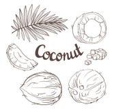 Noce di cocco messa - l'intero dado, foglie, un segmento dei Cochi e polpa di un Coco illustrazione vettoriale