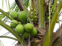 Noce di cocco organica fresca di Brown Immagine Stock