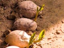 Noce di cocco piacevole con il tiro immagine stock libera da diritti
